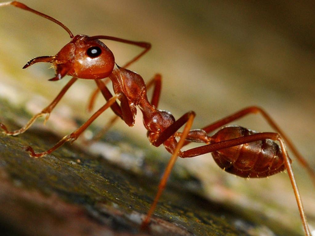 Sipelgad (vaaraosipelgad)